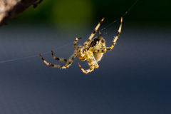 Common Spider Royalty Free Stock Photography