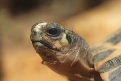 Common spider tortoise (Pyxis arachnoides arachnoides). Stock Photos