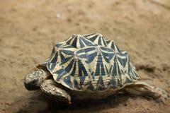 Common spider tortoise (Pyxis arachnoides arachnoides). Royalty Free Stock Photography