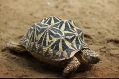 Common spider tortoise (Pyxis arachnoides arachnoides). Stock Image