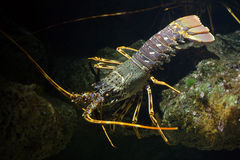 Common spiny lobster Palinurus elephas. Stock Photo