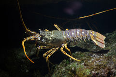 Common spiny lobster Palinurus elephas. Stock Images