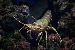 Common spiny lobster (Palinurus elephas). Stock Images