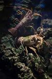 Common spiny lobster (Palinurus elephas). Stock Photo