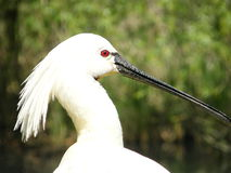 Common Spoonbill 2. A common spoolbill in Sant'Alessio zoo stock images