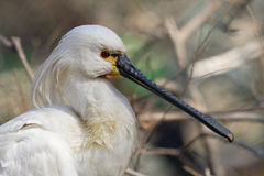 Common Spoonbill royalty free stock photography
