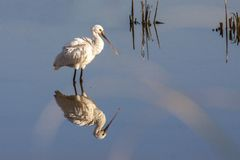 Common Spoonbill Royalty Free Stock Image