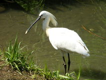 Common Spoonbill 3. A common spoolbill in Sant'Alessio zoo royalty free stock image