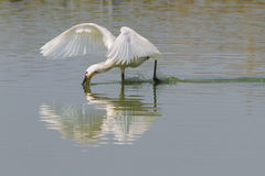 Common Spoonbill in action Stock Images