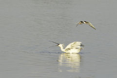 A common spoonbill in conflict with a common tern Stock Photography