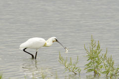 Common Spoonbill with fish - Platalea leucorodia Royalty Free Stock Photos