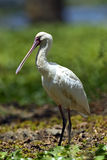 Common Spoonbill Stock Photos