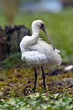 Common Spoonbill Stock Photo