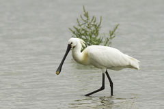 Common Spoonbill looking for food - Platalea leucorodia. Common Spoonbill looking for food in swamp - Platalea leucorodia stock photography