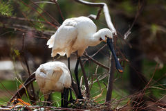 Common Spoonbill   in nest Stock Image