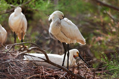 Common Spoonbill   in nest Royalty Free Stock Photos