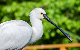 Common spoonbill, Platalea leucorodia Stock Images