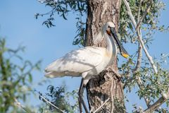 Common Spoonbill - Platalea leucorodia .Wild life animal. Eurasian spoonbill Platalea leucorodia, also known as the common spoonbill. Wild life animal stock photo