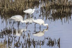 Common Spoonbills and  Snowy Egret Stock Photos