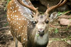 Common Spotted Deer. Deer staring into the cameran stock photos