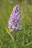 Common Spotted Orchid Stock Image