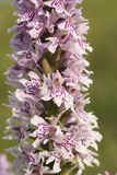 Common spotted orchid Royalty Free Stock Photography