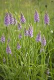Common spotted orchid Stock Photos