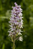 Common Spotted Orchid Royalty Free Stock Photo