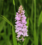 Common Spotted Orchid Stock Photography