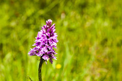 Common spotted orchid close up Royalty Free Stock Photo