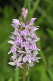 Common Spotted Orchid Royalty Free Stock Photos