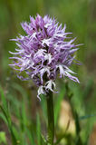 Common Spotted Orchid - Dactylorhiza fushsii Royalty Free Stock Photography