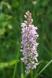 Common spotted orchid flower Stock Photo
