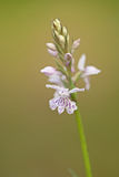 Common spotted orchid / Fuchs` Knabenkraut / Dactylorhiza fuchsii Royalty Free Stock Images