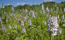 Common Spotted Orchid Meadow Royalty Free Stock Photography
