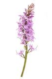 Common spotted orchid (Dactylorhiza fushsii ) Stock Images