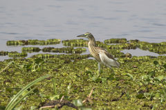 Common squacco heron which stands on the grass flats on the bank Royalty Free Stock Image