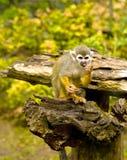 Common squirrel monkey Royalty Free Stock Photos