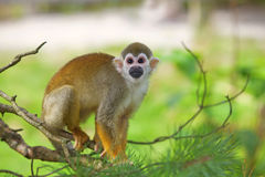 Common squirrel monkey. A common squirrel monkey playing in the trees royalty free stock photography