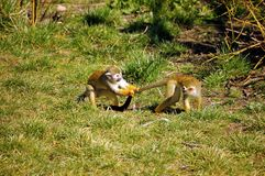 Common Squirrel Monkey. Playing young Common Squirrel Monkeys on grass stock photo