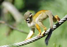 Common Squirrel Monkey Stock Photography
