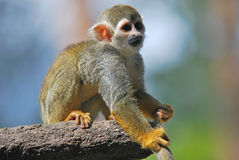 Common squirrel monkey. Sitting on branch stock images