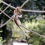 Common squirrel monkey Royalty Free Stock Images