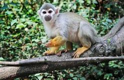 Common squirrel monkey. Portrait of Saimiri sciureus commonly knows as Common Squirrel Monkey Royalty Free Stock Photography
