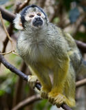 Common squirrel monkey 6 Royalty Free Stock Image