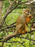Common Squirrel Monkey. Eating plant in tree Stock Photos