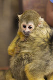 Common Squirrel Monkey baby on back Stock Photo