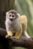 Common Squirrel Monkey branch Stock Images