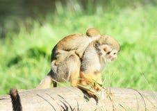 Common squirrel monkey with child. Common squirrel monkey (Saimiri sciureus, family  Cebidae) with child holding on back Royalty Free Stock Photography