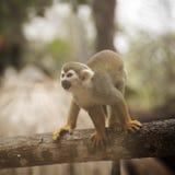 Common Squirrel Monkey Stock Photo